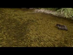 bears Video Thumbnail