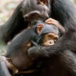 Jane Goodall talks Chimpanzee