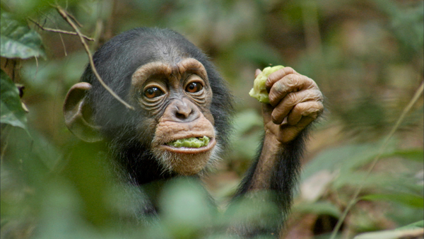A lovable baby chimp named Oscar lives with his big family unit, including his mother, Isha, in the forest but when he gets separated from his family and his mother dies, he's alone until an elderly male chimp adopts him.