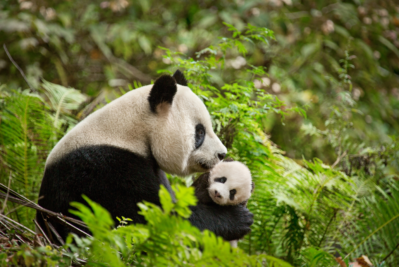 Born in China Panda and cub