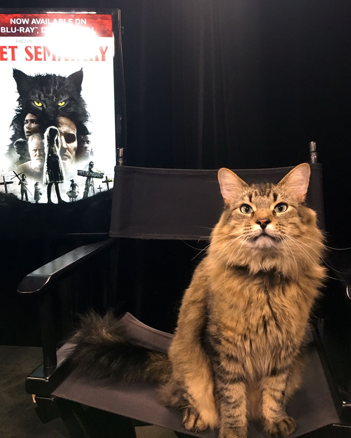 Tonic the Cat who plays Church in Pet Sematary