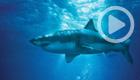 Sharkwater: Extinction (Crave