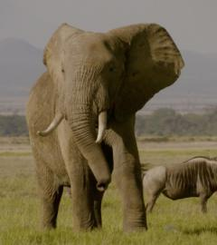 Netflix's The Ivory Game takes aim at elephant poaching