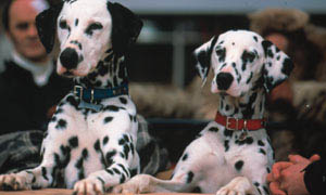 102 Dalmatians Photo 4 - Large