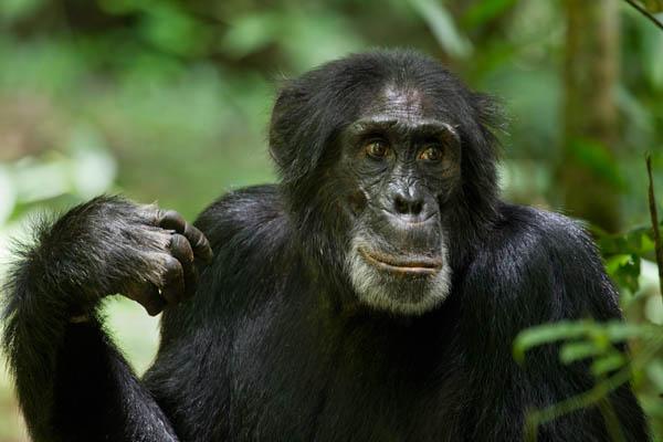 Chimpanzee Photo 21 - Large