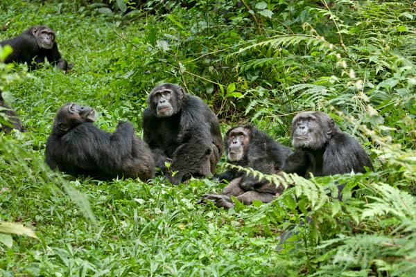Chimpanzee Photo 12 - Large