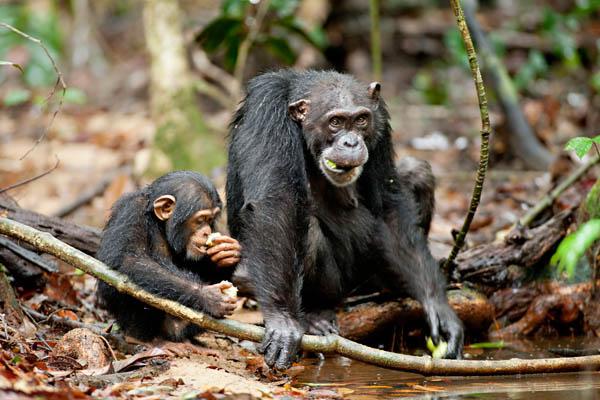 Chimpanzee Photo 13 - Large
