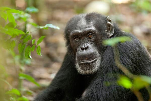 Chimpanzee Photo 9 - Large