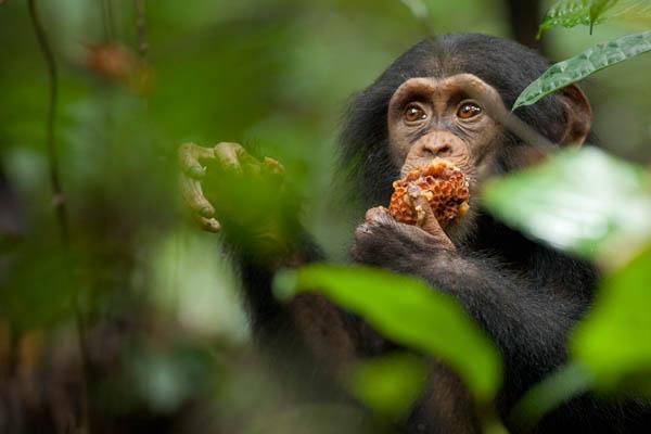 Chimpanzee Photo 22 - Large