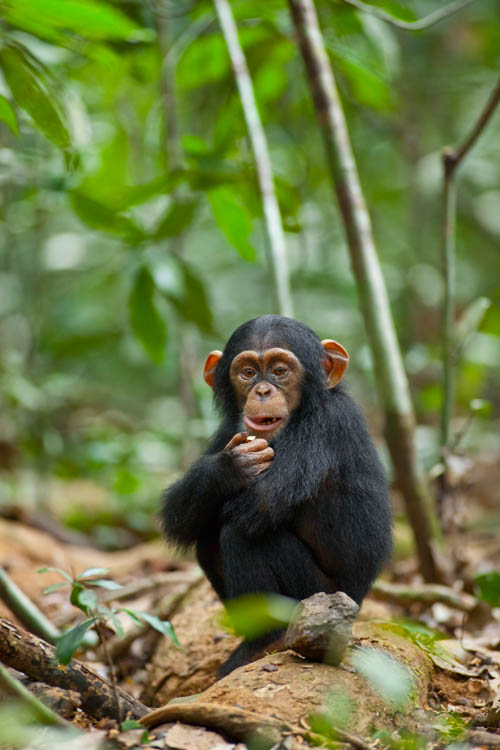 Chimpanzee Photo 29 - Large