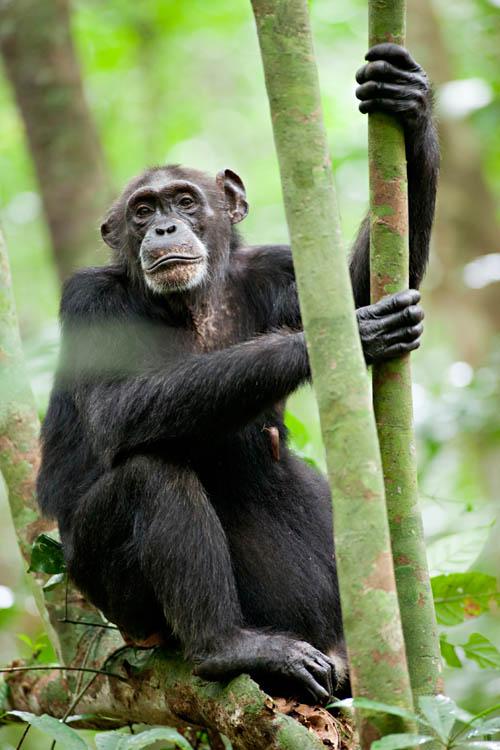 Chimpanzee Photo 26 - Large