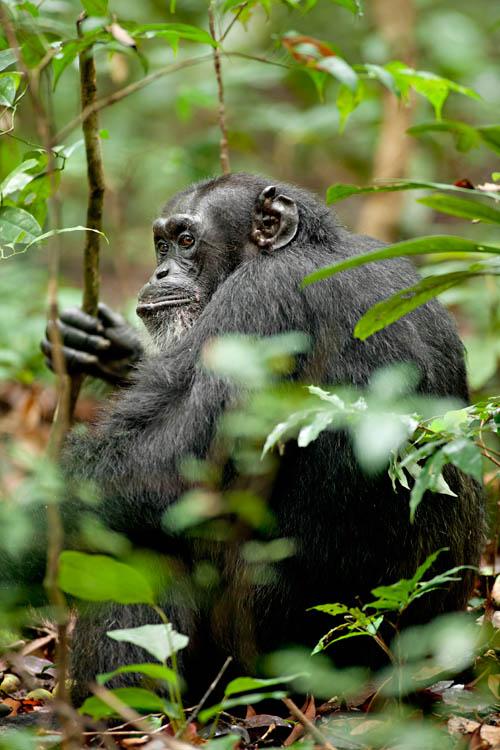 Chimpanzee Photo 27 - Large