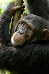 Chimpanzee Photo 28
