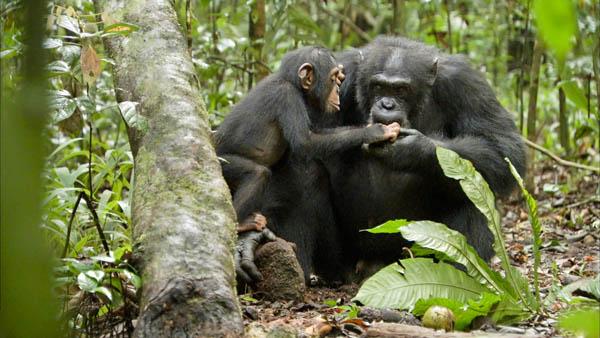 Chimpanzee Photo 7 - Large