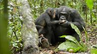 Chimpanzee Photo 7
