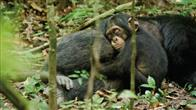 Chimpanzee Photo 1