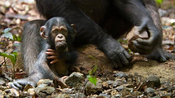 Chimpanzee Photo 3 - Large