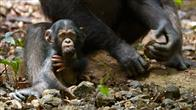 Chimpanzee Photo 3