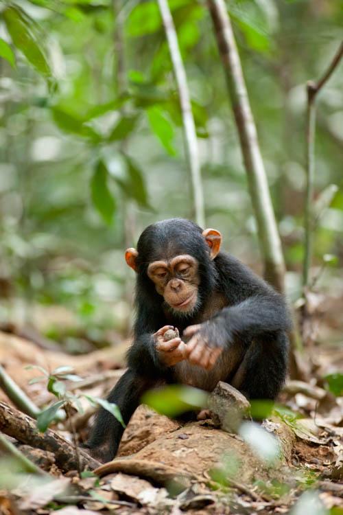 Chimpanzee Photo 25 - Large