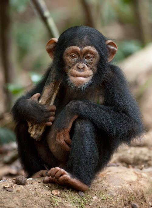 Chimpanzee Photo 23 - Large