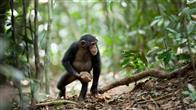 Chimpanzee Photo 2
