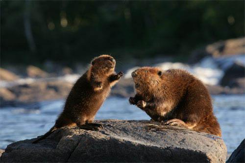 White Tuft, The Little Beaver Photo 1 - Large