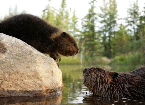 White Tuft, The Little Beaver Photo 5 - Large