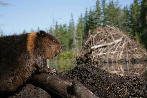 White Tuft, The Little Beaver Photo 2 - Large