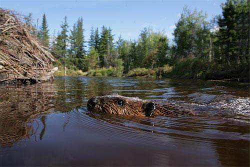 White Tuft, The Little Beaver Photo 3 - Large