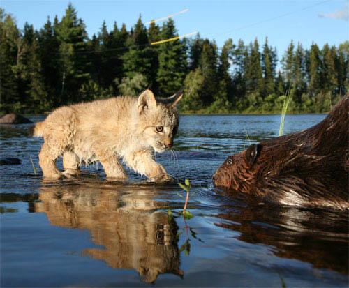 White Tuft, The Little Beaver Photo 6 - Large