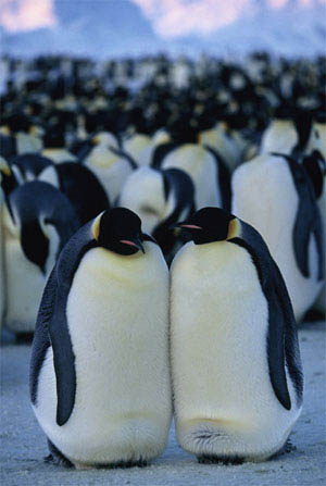 March of the Penguins Photo 17 - Large