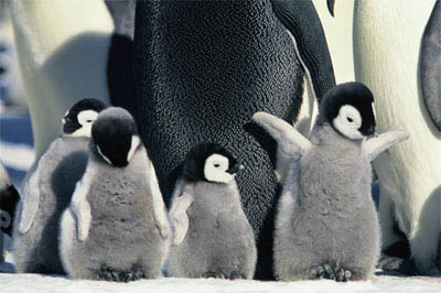 March of the Penguins Photo 13 - Large