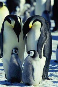 March of the Penguins Photo 15