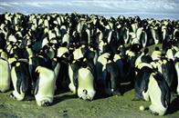 March of the Penguins Photo 5