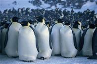 March of the Penguins Photo 7
