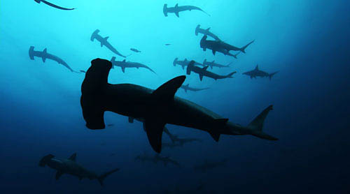 The Galapagos is home to one of the largest congregation of hammerhead sharks. - Large