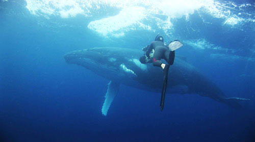 Rob Stewart zooms in on another big creature of the ocean: a humpback whale. - Large