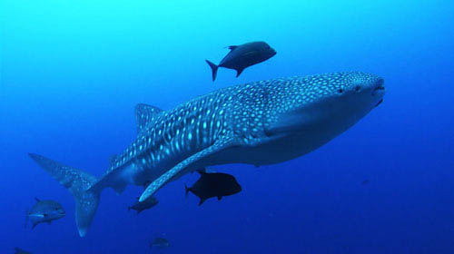 Whale sharks, which can reach 50 feet in length, are the largest fish in the ocean. These gentle giants eat only plankton and are a favorite for scuba divers to swim with. - Large