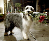 The Shaggy Dog Photo 21 - Large
