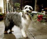 The Shaggy Dog Photo 21 - Large