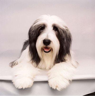 The Shaggy Dog Photo 18 - Large