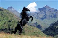 Young Black Stallion Photo 2