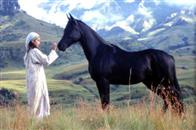 Young Black Stallion Photo 1