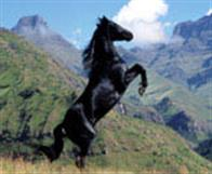 Young Black Stallion Photo 4
